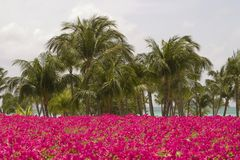 Tropical Paradise. A view of palm trees and a mass of bright pink tropical flowers with the beach and ocean in the background stock photos