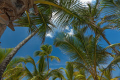 Tropical Paradise. Coconut trees on a beach in the Dominican Republic Stock Photos
