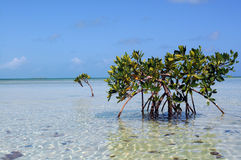 Tropical paradise. The mangrove forest in a Caribbean royalty free stock photo