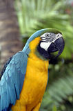 Tropical Parrot. Trained tropical parrot in Radisson Hotel in Aruba Stock Photos
