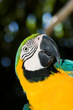 Tropical Parrot. Large Parrot portrait with darkened background Royalty Free Stock Images