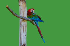 Tropical parrot Stock Photography