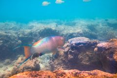 Parrot fish in rocks. Tropical fish underwater royalty free stock photography