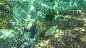 Tropical parrot fish. Tropical underwater world, Similan Islands Thailand stock video