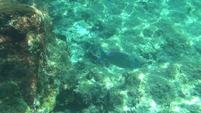 Tropical parrot fish. Tropical underwater world, Similan Islands Thailand stock video footage