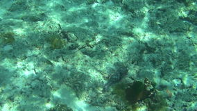 Tropical parrot fish. Tropical underwater world, Similan Islands Thailand stock footage