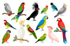Tropical parrot set. With colored feathers and wings. Vector cartoon parrots isolated on white background Royalty Free Stock Image