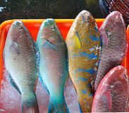 Tropical Parrotfish for Sale Stock Images