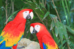 Tropical parrots in Mexico Royalty Free Stock Photography