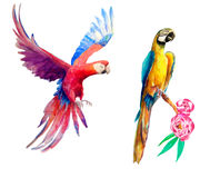 Tropical parrots. Watercolor illustration of two colorful tropical parrots, white background stock photography