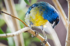 Tropical parula Stock Photo