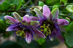 Tropical passion flower. Portrait of passiflora flower. Macro photography of nature Stock Photography