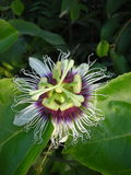Tropical Passion Fruit Flower Stock Image