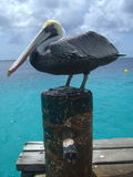 Tropical pelican Royalty Free Stock Photo