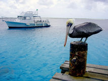 Tropical pelican and dive boat Stock Images