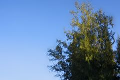Tropical Pine with blue sky background. Royalty Free Stock Photos