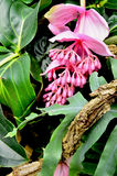 Tropical pink flower and foliage. Tropical flower part of the butterfly vivarium in Erfurt (Germany) in form of cluster with leaves and old limb Stock Photos