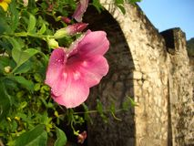 Tropical pink flower silhouette in stone archway. Dew-covered tropical pink flower silhouetted in stone archway Royalty Free Stock Image