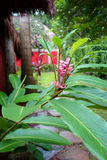 Tropical Pink Ginger Flower. Pink tropical ginger flower growing on a branch with large green leaves and surrounded by tropical exotic vegetation Stock Photo