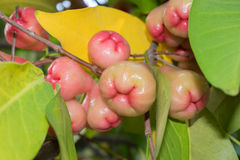Tropical pink juicy fruits of Syzygium royalty free stock photos