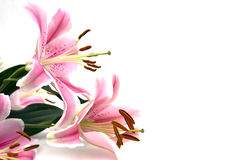 Tropical Pink Lilly. On white background Stock Image