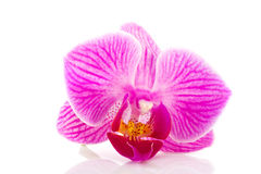 Tropical pink orchid Royalty Free Stock Image