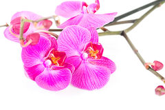 Tropical pink orchid Stock Photo