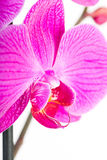 Tropical pink orchid Stock Photos