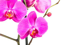 Tropical pink orchid isolated Royalty Free Stock Photo