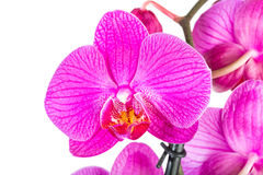 Tropical pink orchid isolated Stock Images