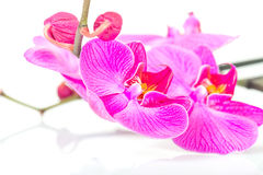 Tropical pink orchid isolated Stock Photo