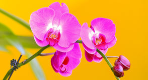 Tropical pink orchids Stock Image