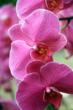 Tropical pink orchids Royalty Free Stock Images