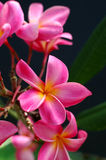 Tropical pink plumeria Royalty Free Stock Photos