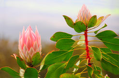 Tropical Pink Protea Flower Royalty Free Stock Photo