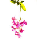 Tropical pink streaked orchid flower isolated background stock images