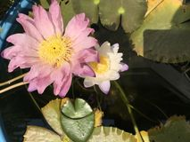 Tropical pink and white water lilies. Serene peaceful green joy meditation aesthetic gardendesign reflection lotuspond royalty free stock images