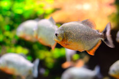 Tropical piranha fish Stock Photo