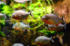 Tropical piranha fish Royalty Free Stock Photos