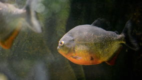 Tropical piranha fish stock video