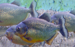 Tropical piranha fish Royalty Free Stock Images