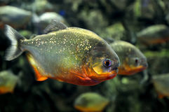 Tropical piranha fishes Royalty Free Stock Image
