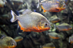 Tropical piranha fishes Royalty Free Stock Photos