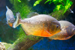 Tropical piranha fishes in a natural environment.  stock images