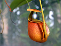 Tropical pitcher plant Royalty Free Stock Image