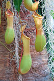Tropical Pitcher Plant Stock Photos