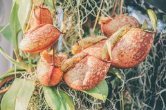 Tropical Pitcher Plant Stock Photography