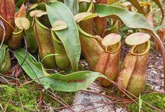 Tropical pitcher plant or monkey cup Stock Image