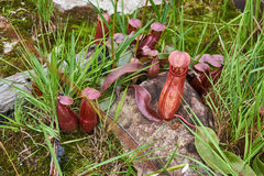 Tropical pitcher plant or monkey cup Royalty Free Stock Image
