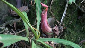 Tropical Pitcher Plant Nepenthes also called as Monkey Cup